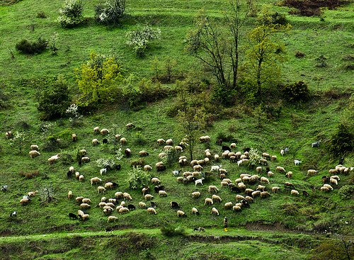 SHEPHERD AND FLOCK, GREECE #2779A