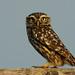 Athene noctua - Mocho galego/Little Owl by António A Gonçalves