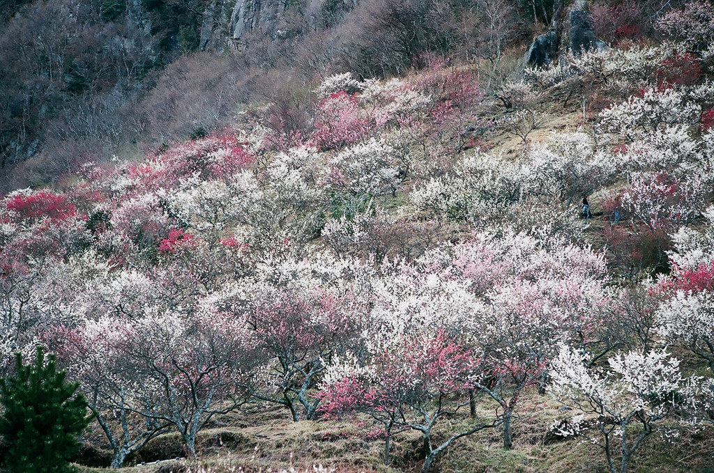 Plum Orchard by Luno_Luno