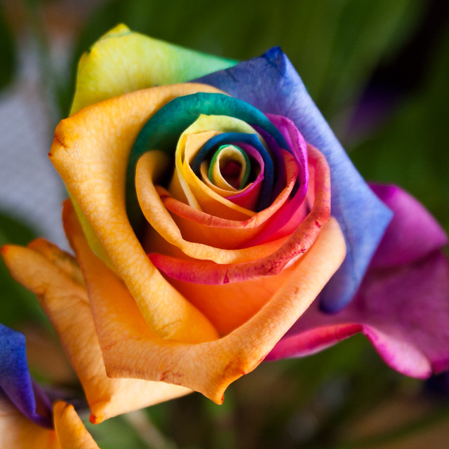 Rainbow rose flickr photo sharing for What are rainbow roses
