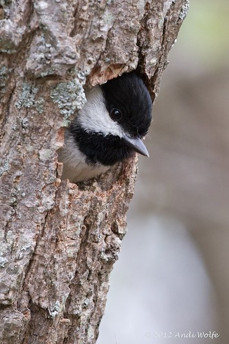 Carolina chickadee by andiwolfe