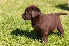 boykin spaniel(0.0), field spaniel(0.0), dog breed(1.0), labrador retriever(1.0), animal(1.0), puppy(1.0), dog(1.0), pet(1.0), patterdale terrier(1.0), carnivoran(1.0), chesapeake bay retriever(1.0),