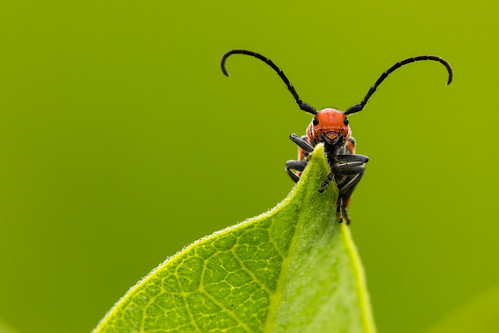 red macro nature canon bug insect ngc beetle npc milkweed tamron t3i coleoptera doubledragon tetraopes primelens tetraopestetrophthalmus tamron180mm osbornedale platinumgolddoubledragon odc3