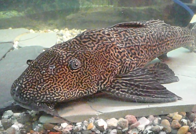 Suckermouth Amazon Catfish Flickr - Photo Sharing!