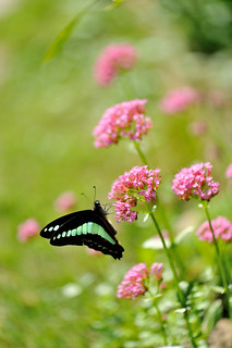 pink flowers with a butterfly