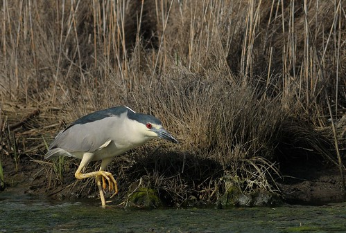 Stealthy Black-Crowned Night Heron