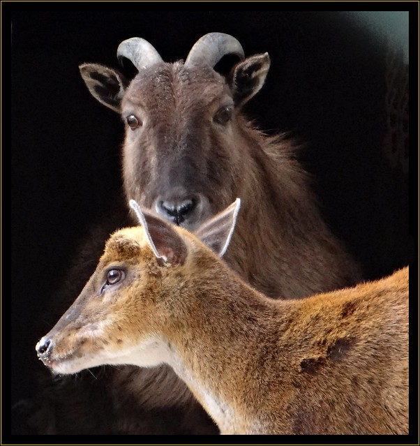 Himalayan Tahr and mouse deer