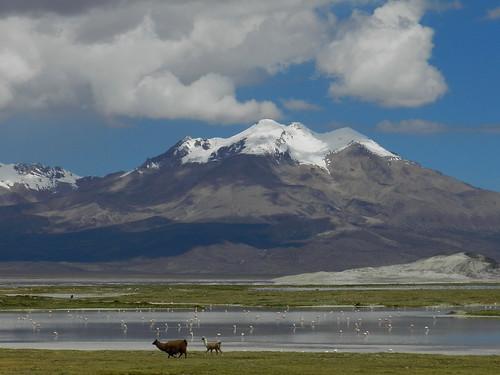 chile alpaca andes flamencos altiplano salardesurire