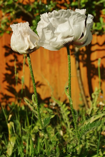 Paper poppies by PhylB