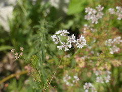 apiales, flower, cow parsley, plant, subshrub, herb, wildflower, flora,