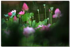 Lotus & Water Lily * 2012