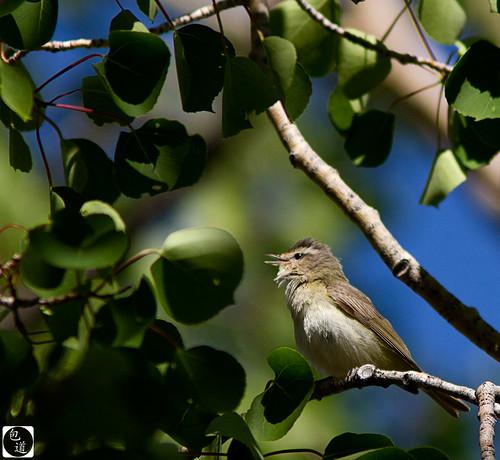 warblingvireo vireogilvus