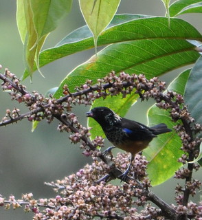 Spangle-cheeked tanager CROP
