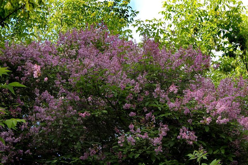 Syringa josikaea (Hungarian Lilac)  — Сирень венгерская