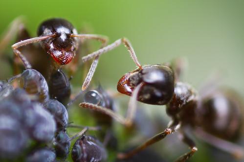 Ameisen melken Blattläuse - 6 by X-TremeBass