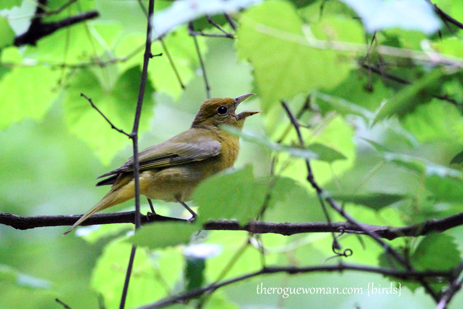 053012_02_bird_femaleSummerTanager