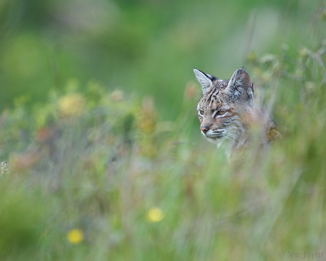 Bobcat in tall grass (color)