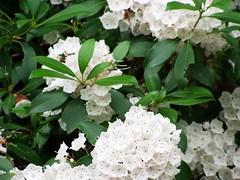 blossom, evergreen, flower, plant, flora, viburnum,