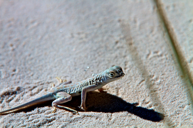 The Bleached Earless Lizard (2)