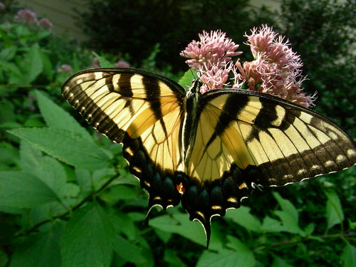 Butterflies, such as this eastern swallowtail, are important pollinators for many beautiful wildflowers like this dwarf Joe Pye Weed (Eupatorium dubium). Photo Credit: FS photo by Dennis Krusac