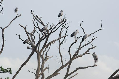 Asian Openbills up a tree