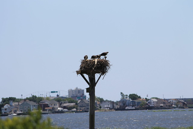 Osprey nest, Jamaica Bay Wildlife Refuge