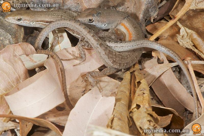 Carlia pectoralis mating
