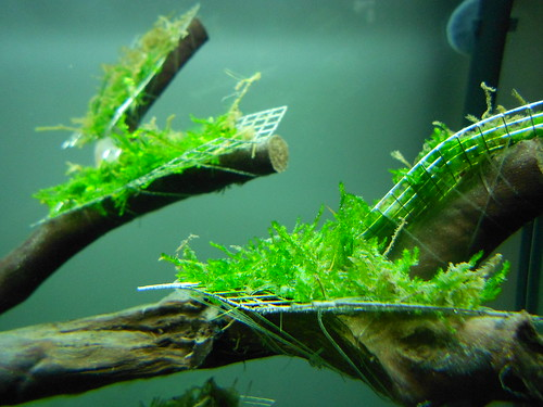 aquarium moos aufbinden