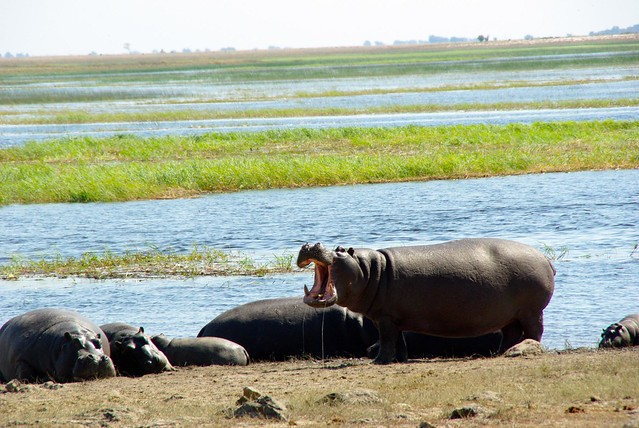 Hippo on Chobe River Botswana
