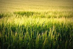 [Free Images] Nature, Field / Farm, Wheat, Green Color, Landscape - Denmark ID:201207131200