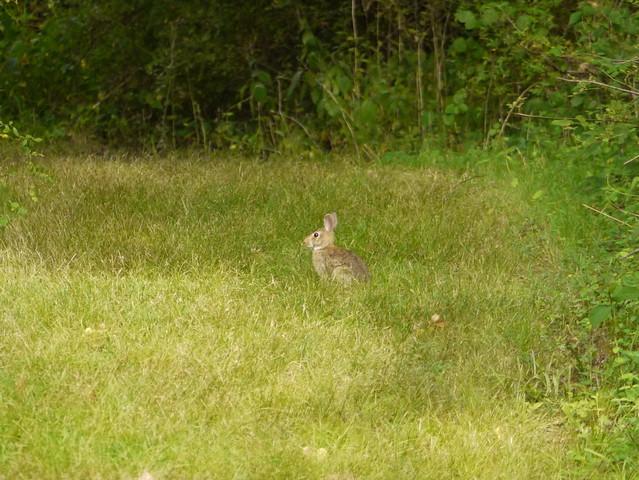 wild rabbit 6