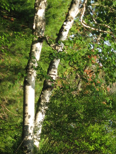Birches in the Evening Sun