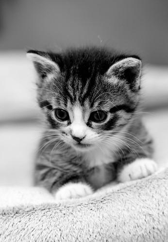 無料写真素材, 動物 , 猫・ネコ, 子猫・小猫, モノクロ