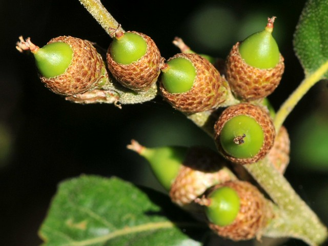 Planting Live Oak Tree Acorns : New acorns on coast live oak quercus agrifolia fagaceae