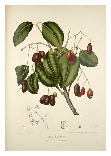 019-Jambula o ciruela de Java-Fleurs, fruits et feuillages choisis de l'ille de Java-1880- Berthe Hoola van Nooten