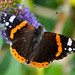 Red Admiral - Photo (c) Drriss & Marrionn, some rights reserved (CC BY-NC-SA)