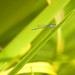 Small photo of Agrion