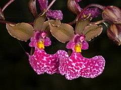 wild Orchids of Ecuador