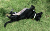 shady_rolling_in_grass-20160827-100