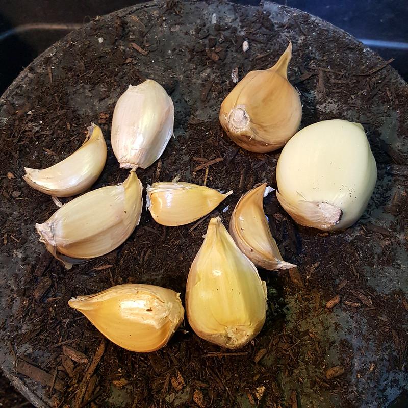 Elephant Garlic Broken Up