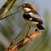 Woodchat shrike by alvinpurexphotography