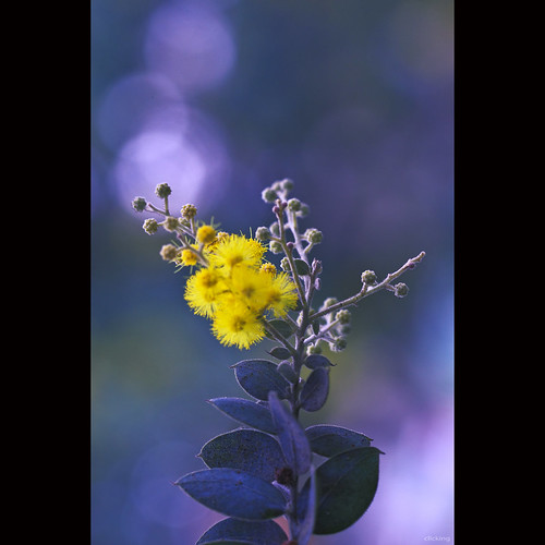 Mimosa flower and bokeh by -clicking-