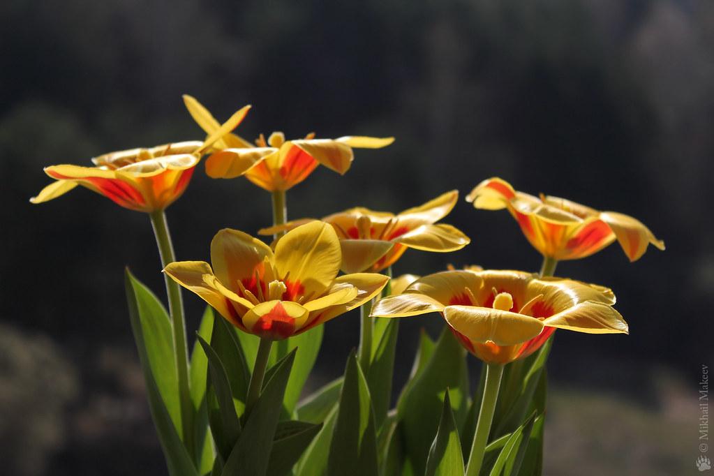 Tulipa kaufmanniana 'Stresa' — Тюльпан Кауфмана 'Стреса'
