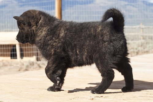 Ayu-Litter1-Day47-Puppy2-Female(Sachi)-b