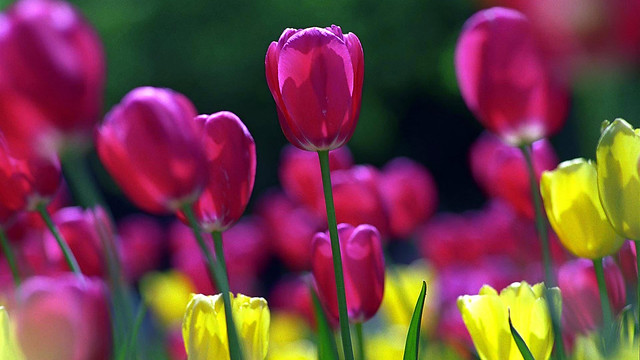 2012 Tulips  13