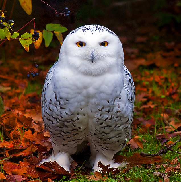 Snowy Owl in Autumn (EXPLORE)