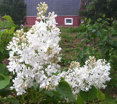 White Lilacs at Long Hill Gardens by randubnick