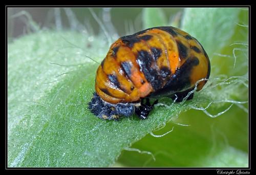 Nymphe de coccinelle à 7 points (Coccinella septempunctata)