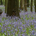 Bluebells at Dockey Wood - II (Explored)