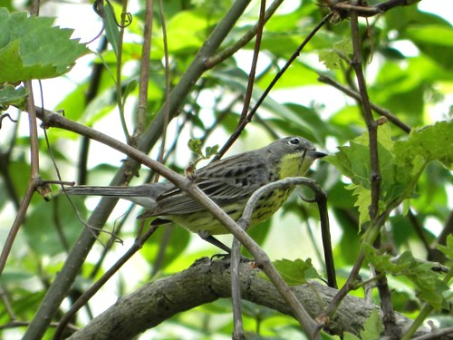 Kirtland's Warbler (female)